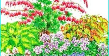 El cultivo, la siembra y cuidado de dicentra (corazón roto)